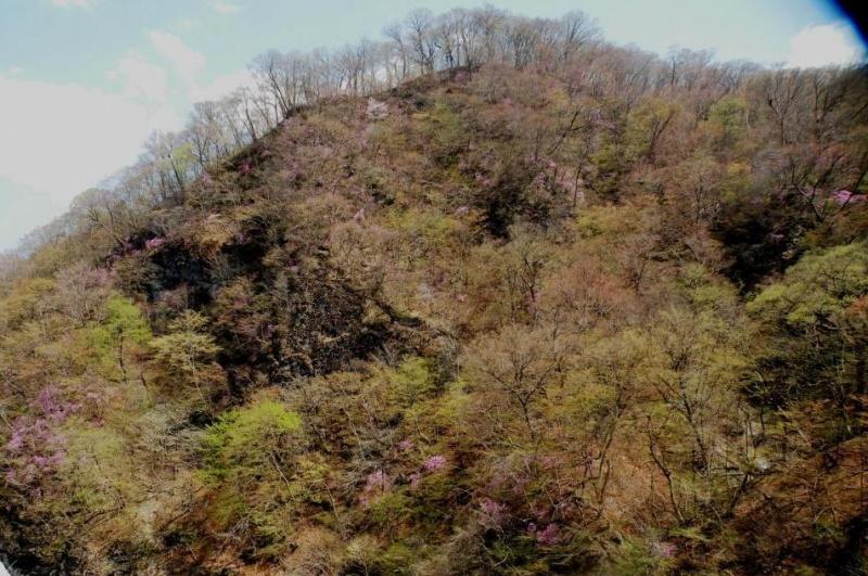 ダムサイト予定地のムラサキツツジshukuトリミング2
