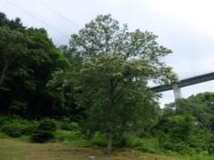 川原湯温泉駅前の栗の木の花