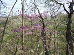 長野原町の花、ムラサキツツジ。 国の名勝・吾妻渓谷の春を彩る。