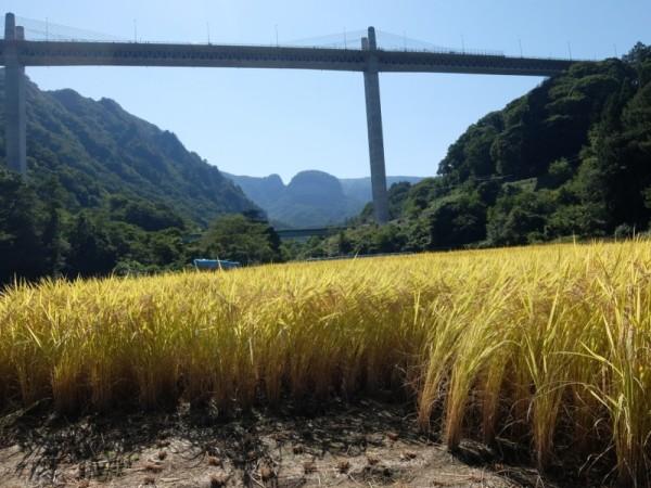 黄金色の田んぼときのこ山と不動大橋shuku