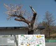駅前の桜shuku