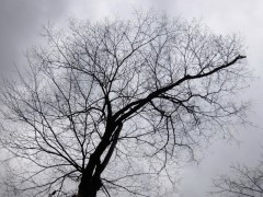 エゾエノキの木shuku