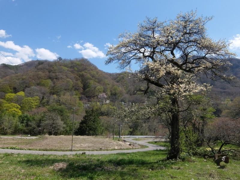 白い花の木と川原湯の山.jpgs