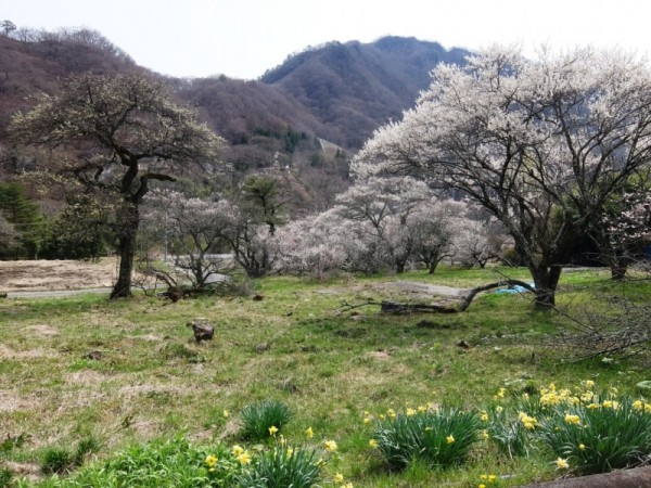 梅と水仙の里