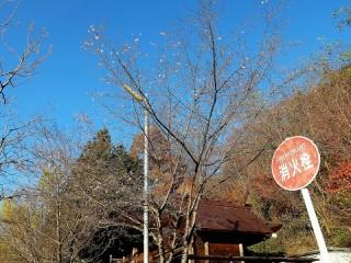 彼岸桜が狂い咲き (2)