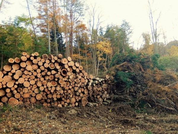 カラマツの伐採