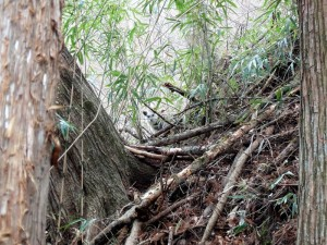 竹藪のカモシカ